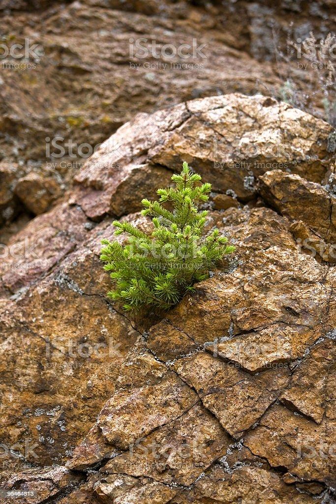 Lone pine tree on red rocks royalty-free stock photo