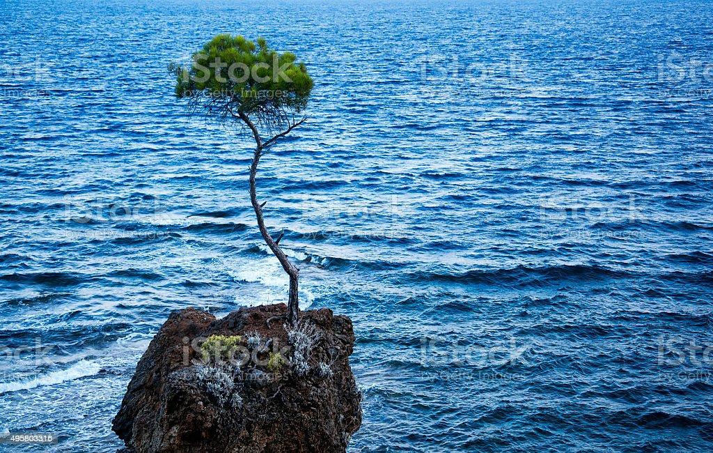 lone pine tree stok fotoğrafı