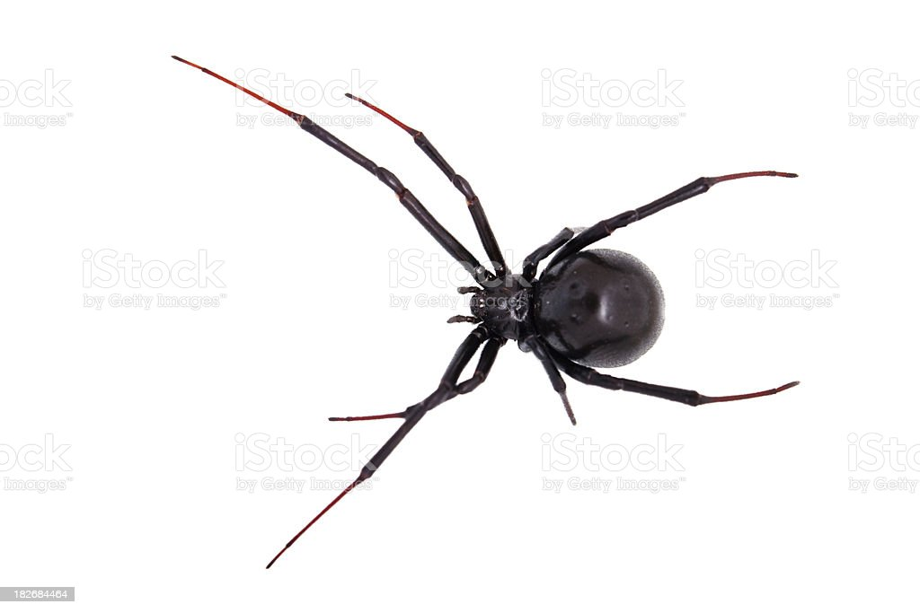 Lone poisonous black widow against a white background. stock photo