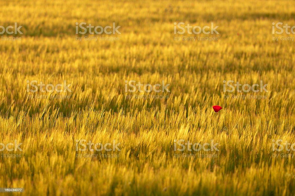 Lone poppy stock photo