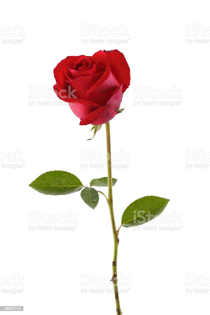 A lone red rose on a white background royalty-free stock photo