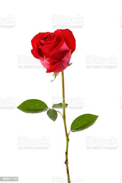 Lone red rose on a white background picture id96357744?b=1&k=6&m=96357744&s=612x612&h=mfvgss7xdmizkncnjfj1iw9sbbualtlt kimcdepljq=