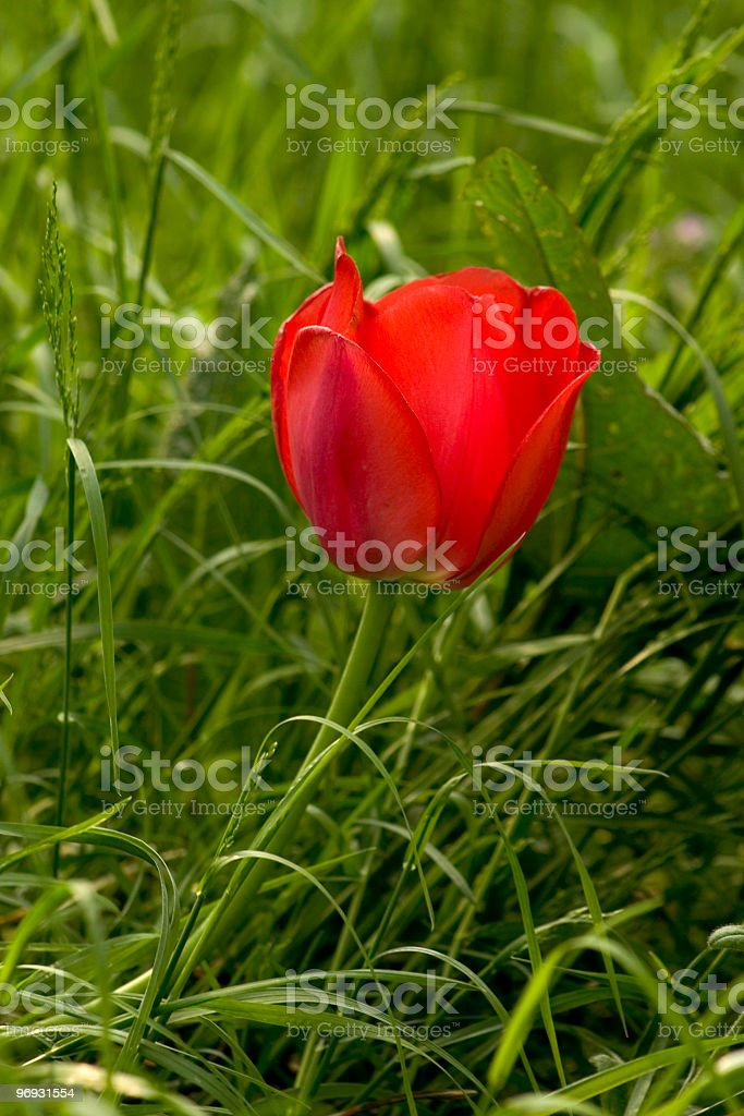 Lone red tulip royalty-free stock photo