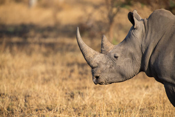 Lone rhino standing on a open area looking for safety from poachers Lone rhino standing on a open area looking for safety from poachers rhinoceros stock pictures, royalty-free photos & images