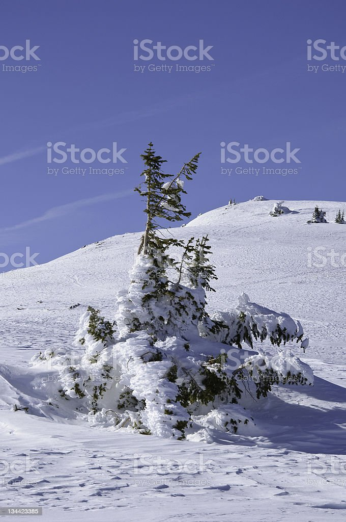 Lone Rime Covered Pine Tree in WInter Landscape Vertical stock photo