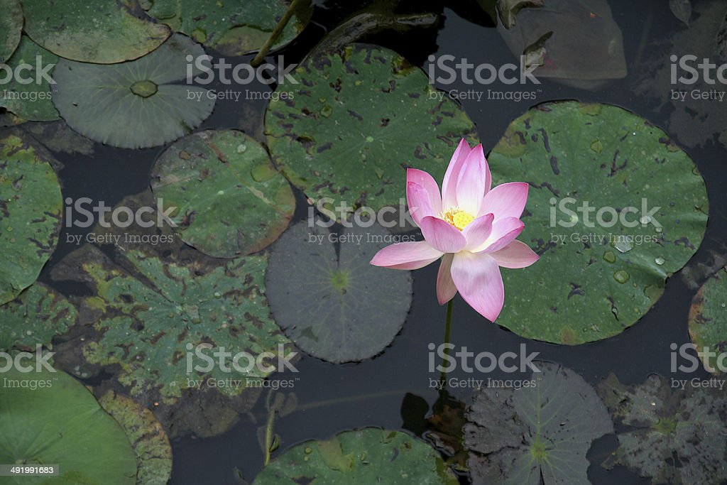 Lone Rose Lily stock photo
