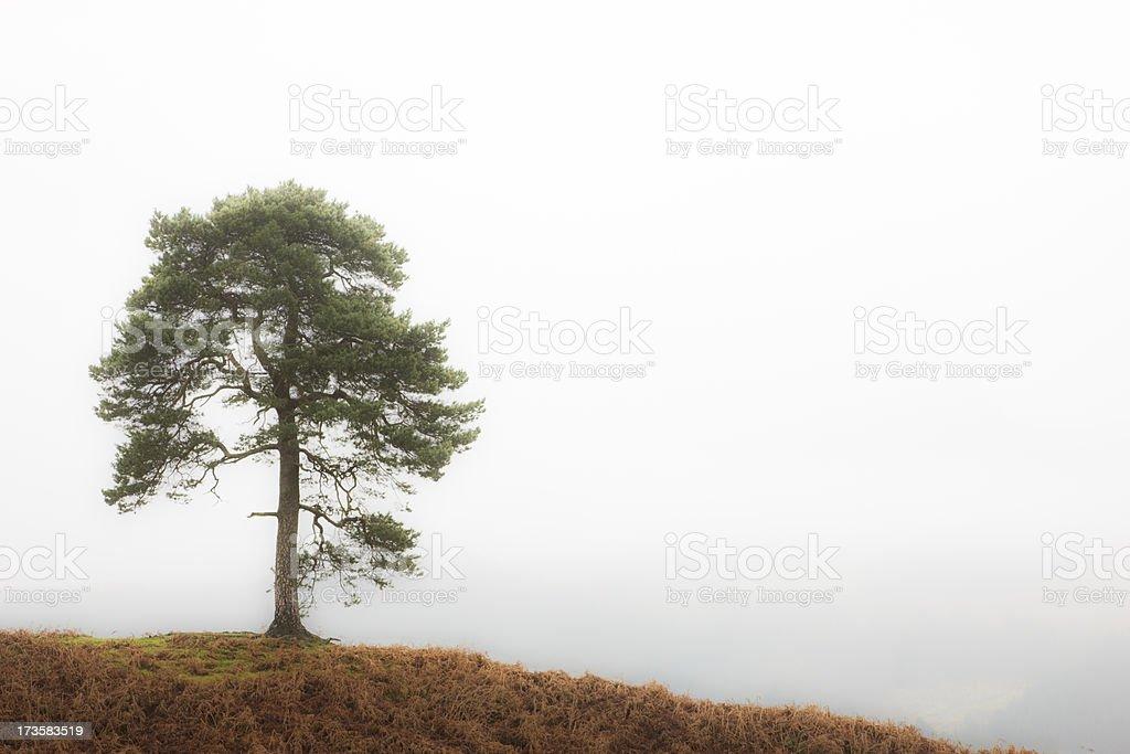 Lone Scots Pine stock photo