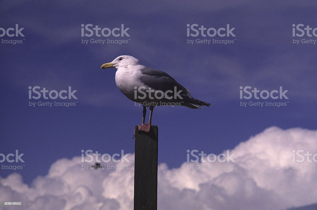 Lone Sea Gull On A Post royalty-free stock photo