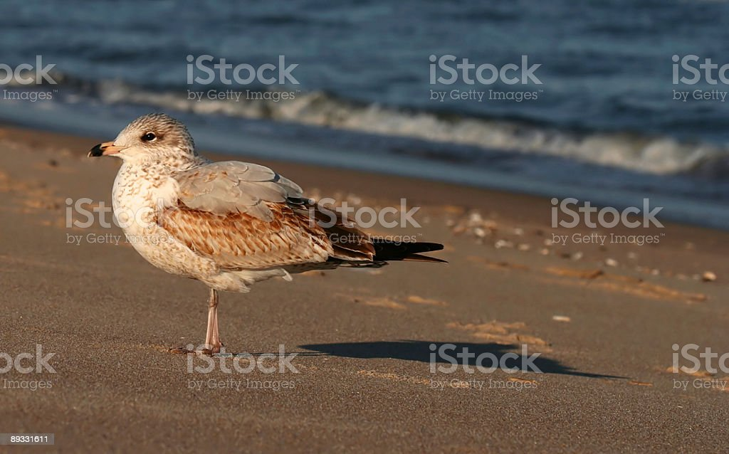 Lone Seagull stock photo