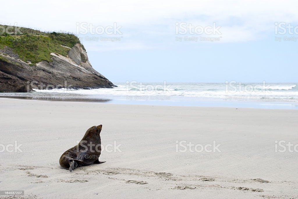 Lone Seal, Wharariki Beach, Golden Bay, NZ stock photo