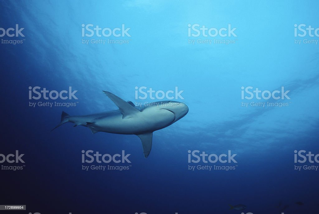 Lone Shark royalty-free stock photo