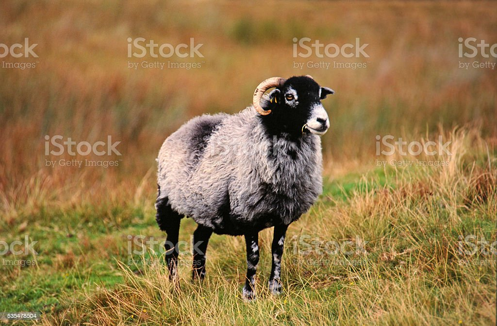 Lone sheep in the field stock photo
