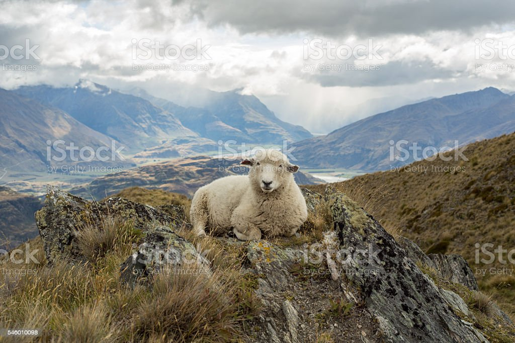 Lone sheep lies on mountain ridge stock photo