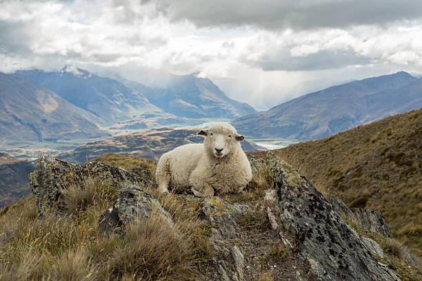 Solitario ovejas se encuentra en la cresta - foto de stock
