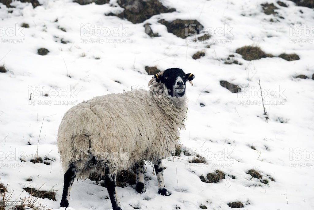 Lone Sheep on a mountain side covered in snow. royalty-free stock photo