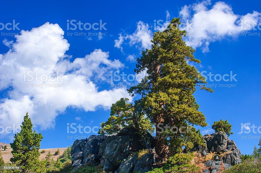 Lone Sierra Juniper stock photo