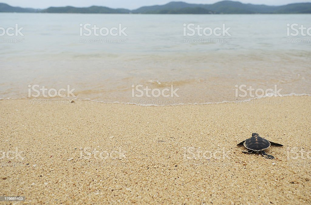 Lone small turtle on shoreline stock photo