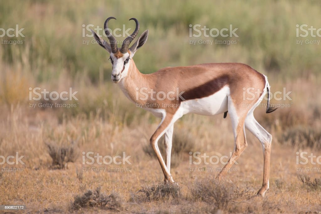 Lone springbok jogging to re-join its herd late in the afternoon on a Kalahari plain stock photo