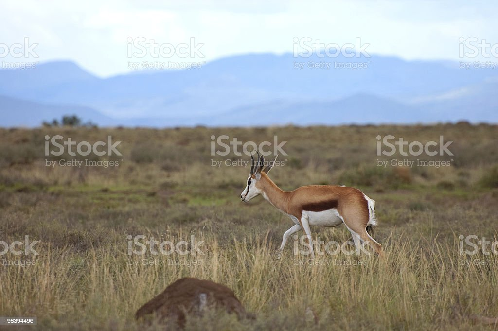 Lone Springbok on Savannah royalty-free stock photo