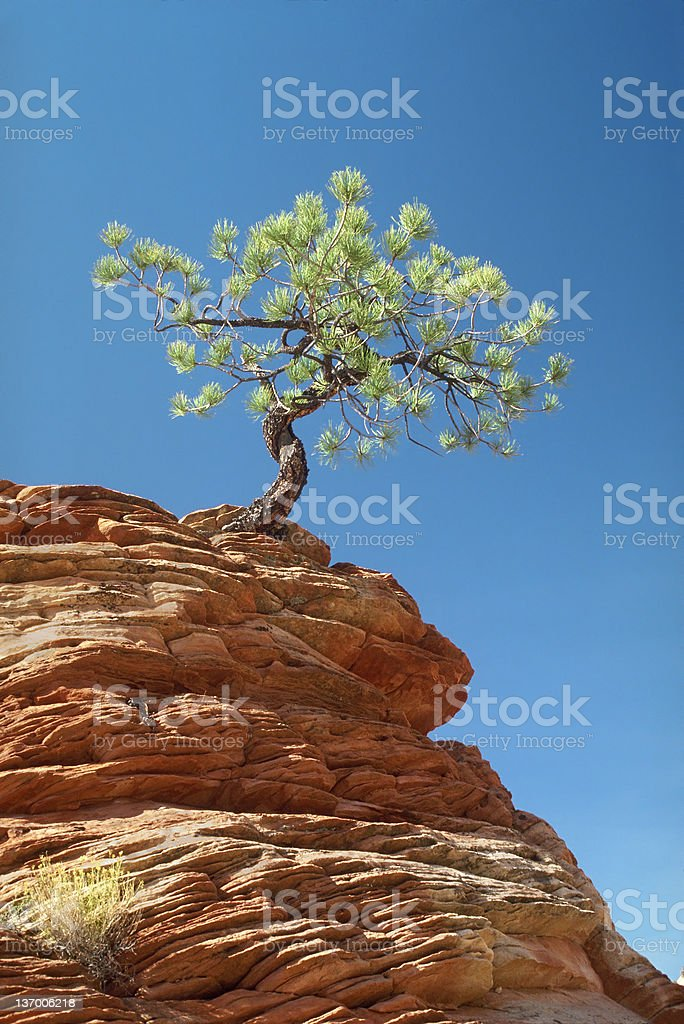 Lone Tree Clinging To Ledge royalty-free stock photo