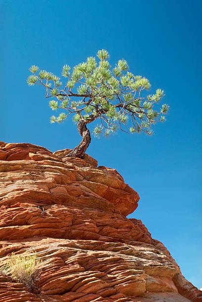 Lone Tree Clinging To Ledge stock photo