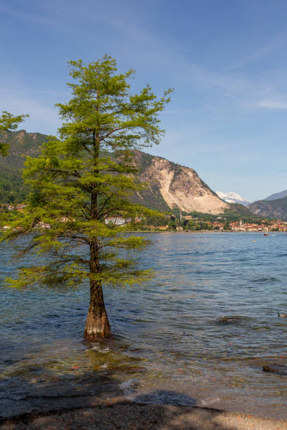 Lone tree grows in unusual setting - A tree grows within a lake in Italy stock photo