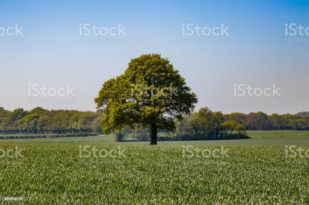 Lone Tree in a Field - Royalty-free Agricultural Field Stock Photo