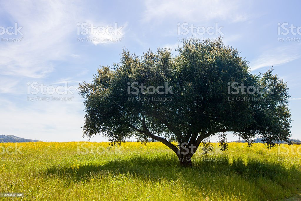 Lone tree in a field with soft clouds in a blue sky stock photo