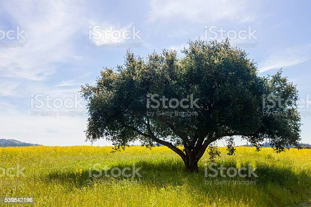 Lush green single tree in a field of yellow mustard flowers. Wispy clouds in the background. Serene, tranquil, happy scenery.