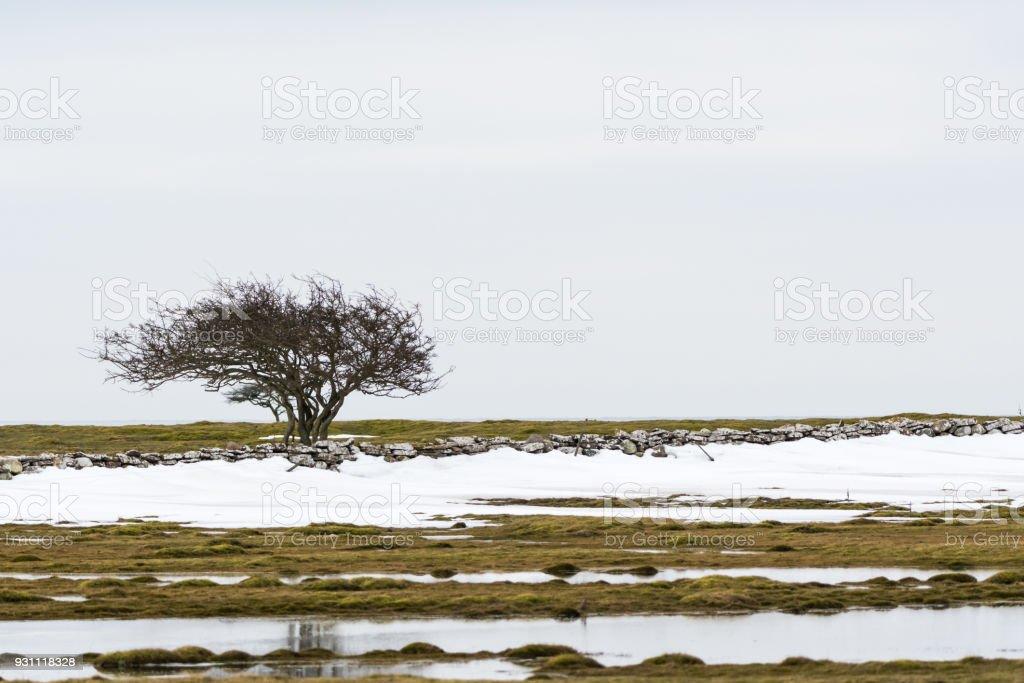 Kar erime ile bir manzara içinde yalnız ağacı - Royalty-free Ağaç Stok görsel