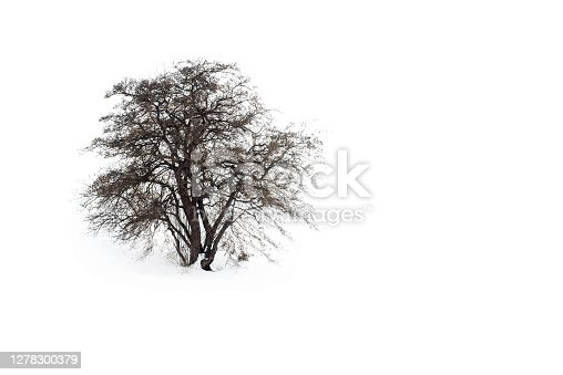 A lone tree in a snow covered field. Frosty oak tree with a patch of ground