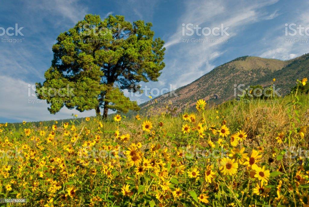 Lone Tree in a Sunflower Field stock photo