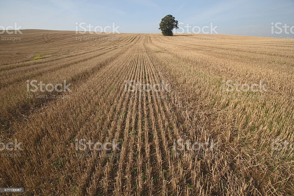 Lone tree in harvested field stock photo