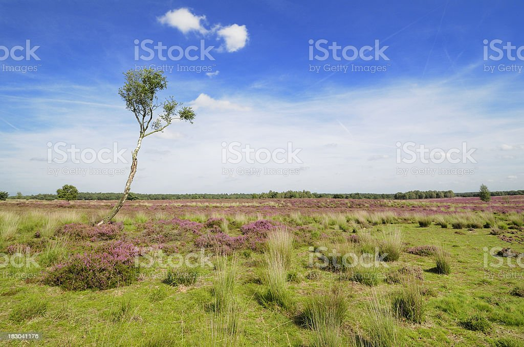 Lone tree in heather landscape royalty-free stock photo