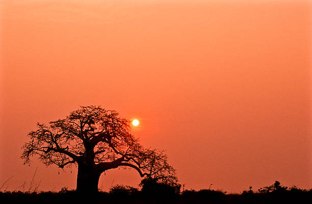a lone tree in kissama national park in angola at sunset - angola stock photos and pictures