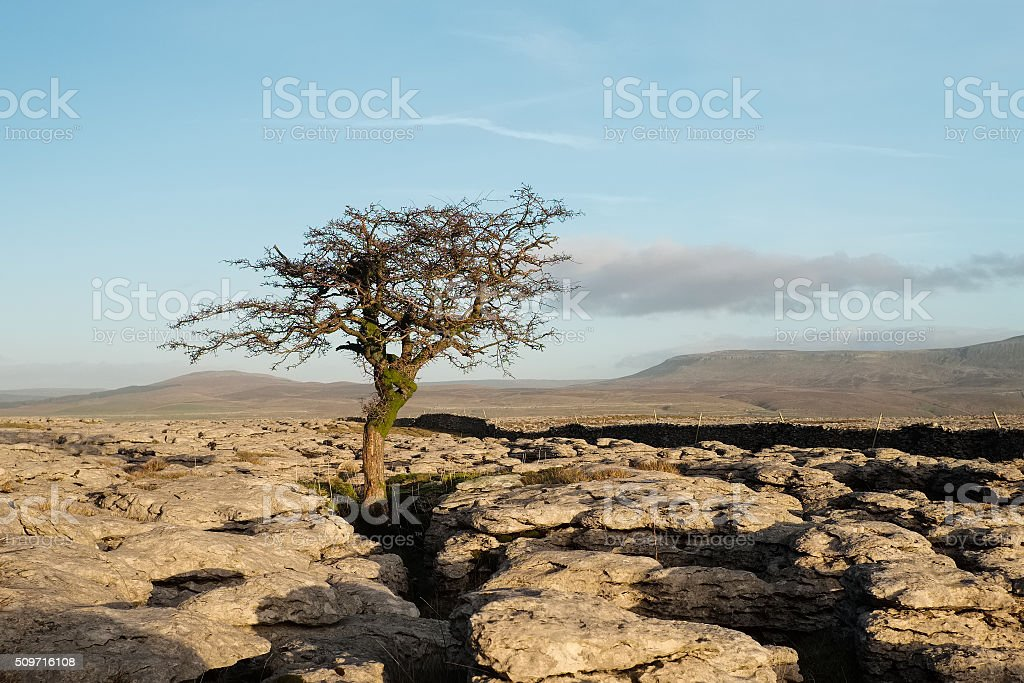 Lone tree in North Yorkshire, England stock photo