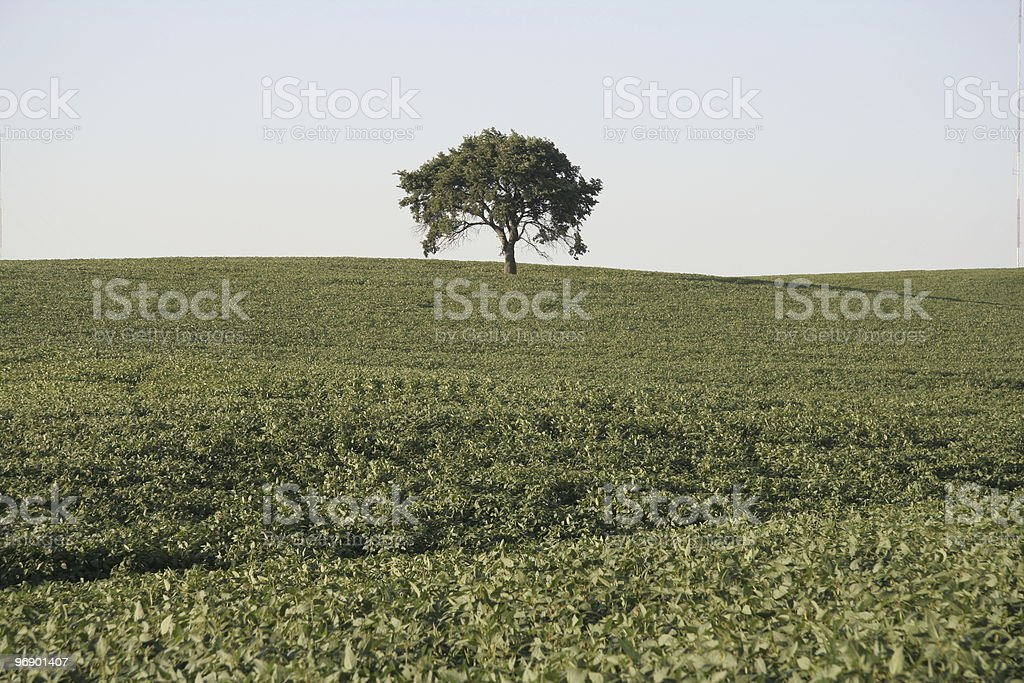 Lone Tree in Soybean Field royalty-free stock photo