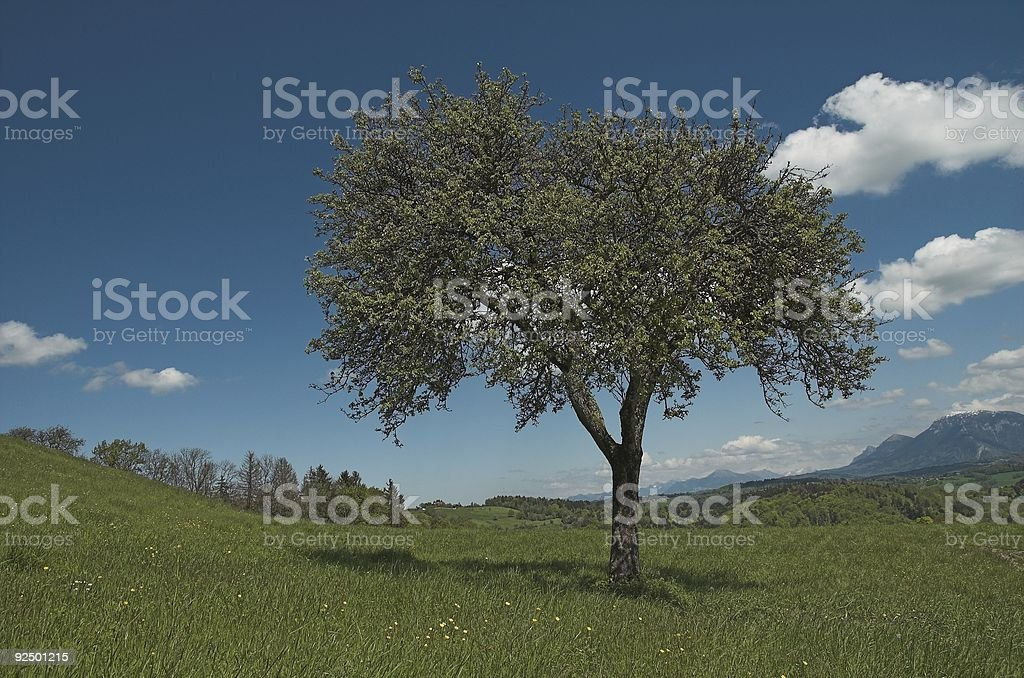 Lone tree in the meadow royalty-free stock photo