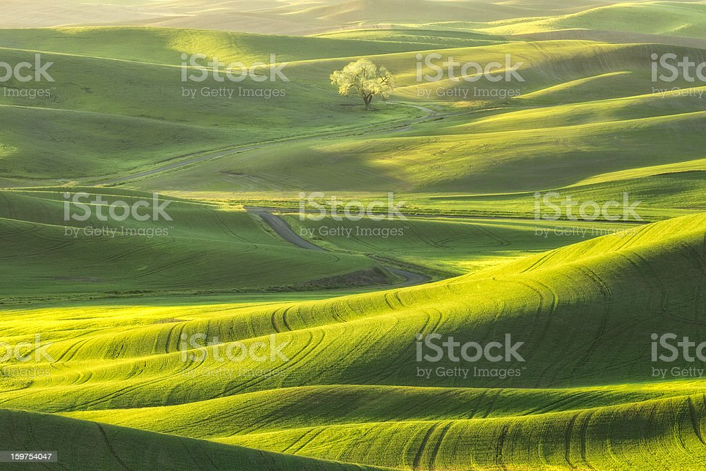 Lone Tree in the Palouse royalty-free stock photo