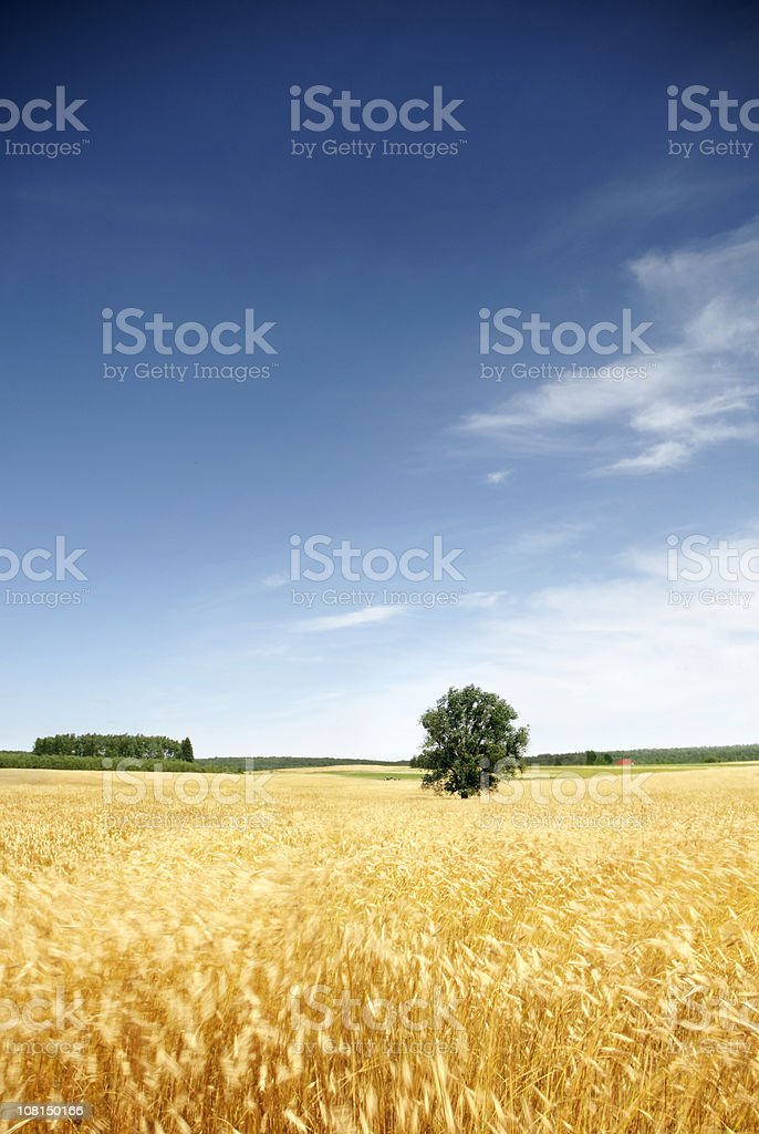 Lone Tree in Wheat Field Against Blue Sky royalty-free stock photo