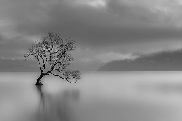 lone tree, lake wanaka, new zealand (black and white) - enigma images stock photos and pictures