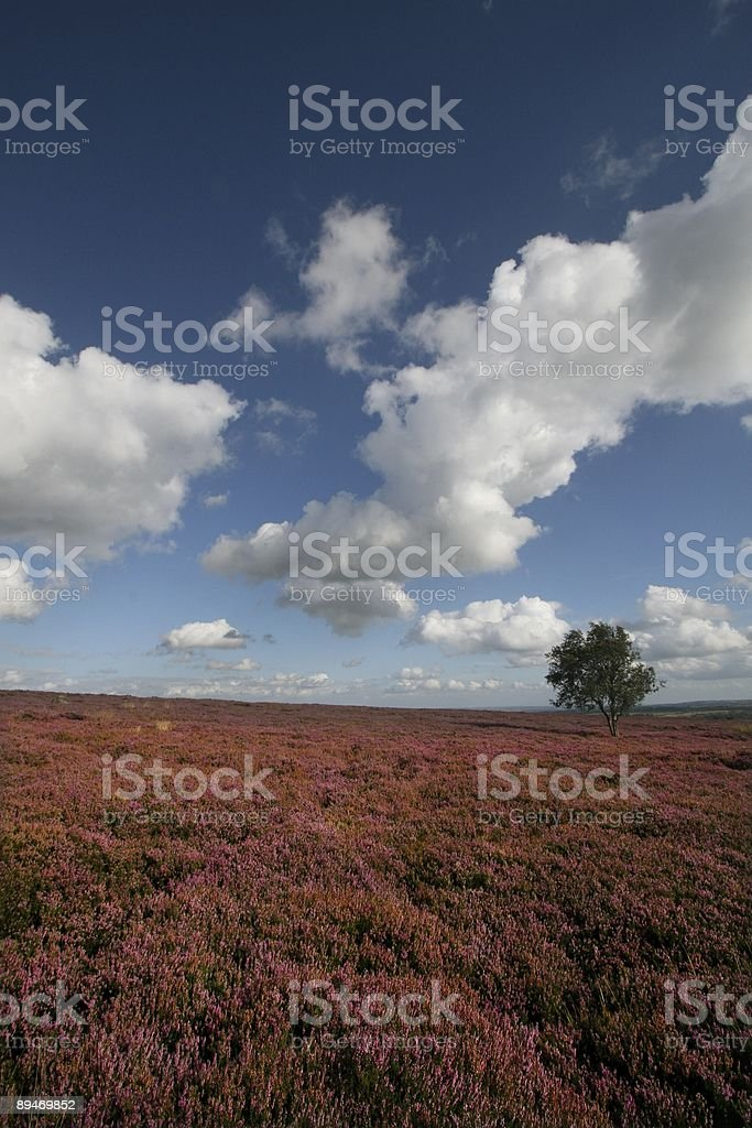 Lone tree on heather moor stock photo