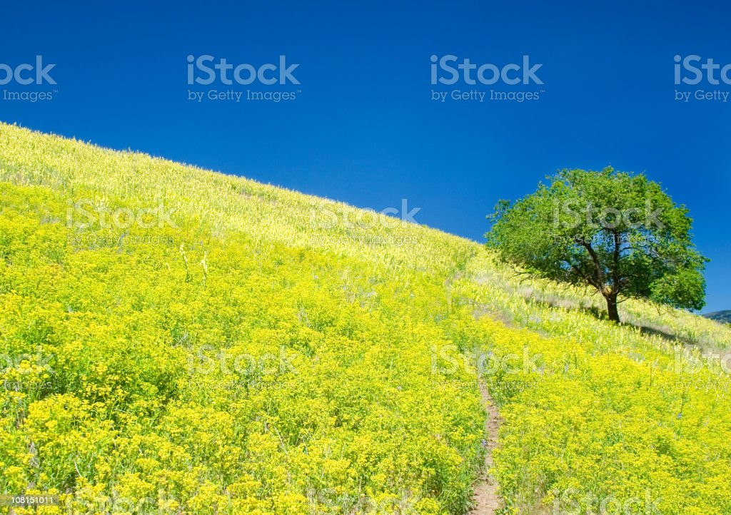 Lone Tree on Hill of Yellow Wildflowers stock photo