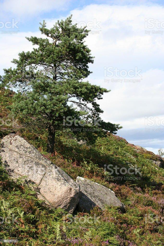 Lone tree on hillside royalty-free stock photo