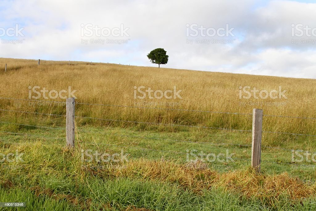 Lone tree sits in a wheatfield stock photo
