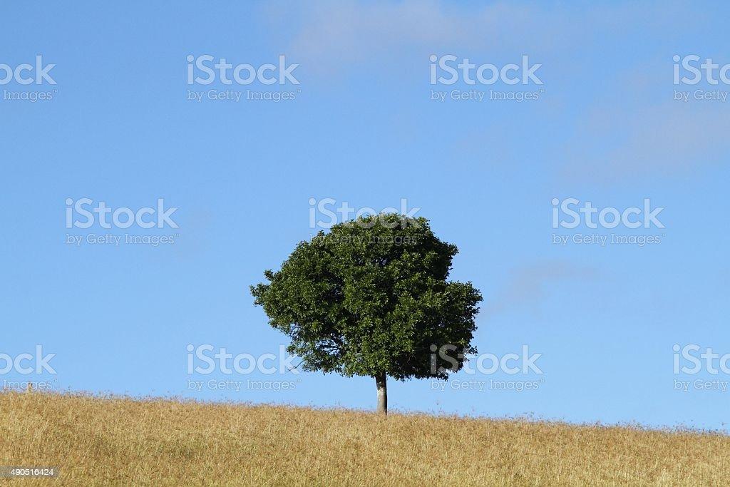 Lone tree sitzt auf dem wheatfield – Foto