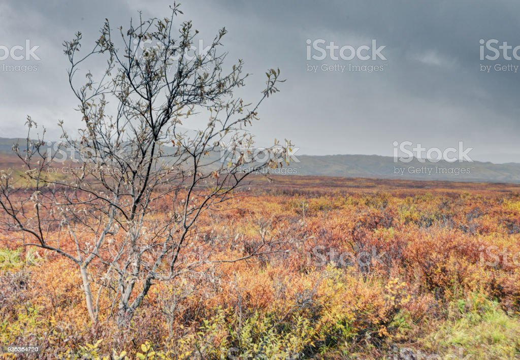 A lone tree stands alone among ripe Blueberry Bushes in fall in Denali National Park. stock photo