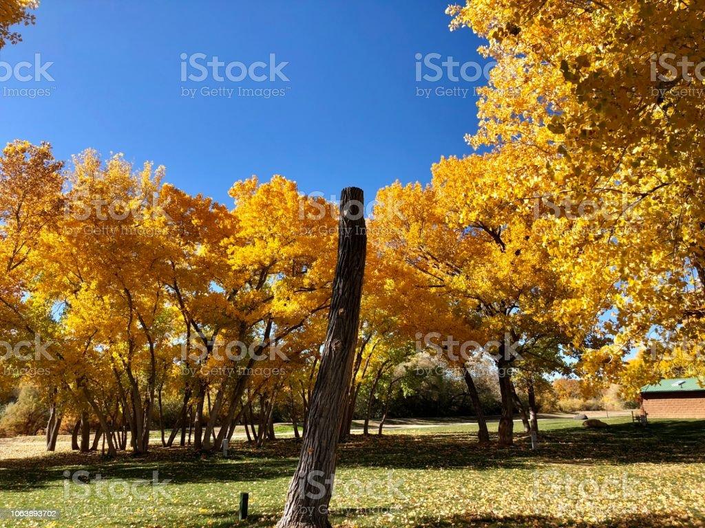 Lone Tree stump Among Golden Cottonwood Trees stock photo