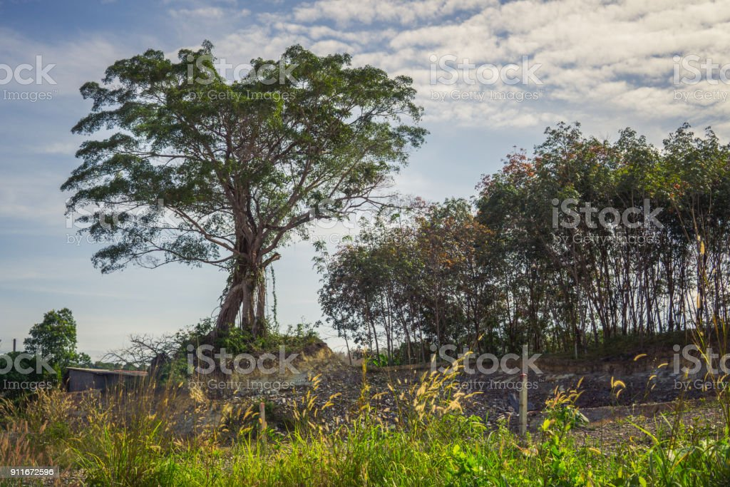 Lone tropical tree in cleared Rainforest stock photo