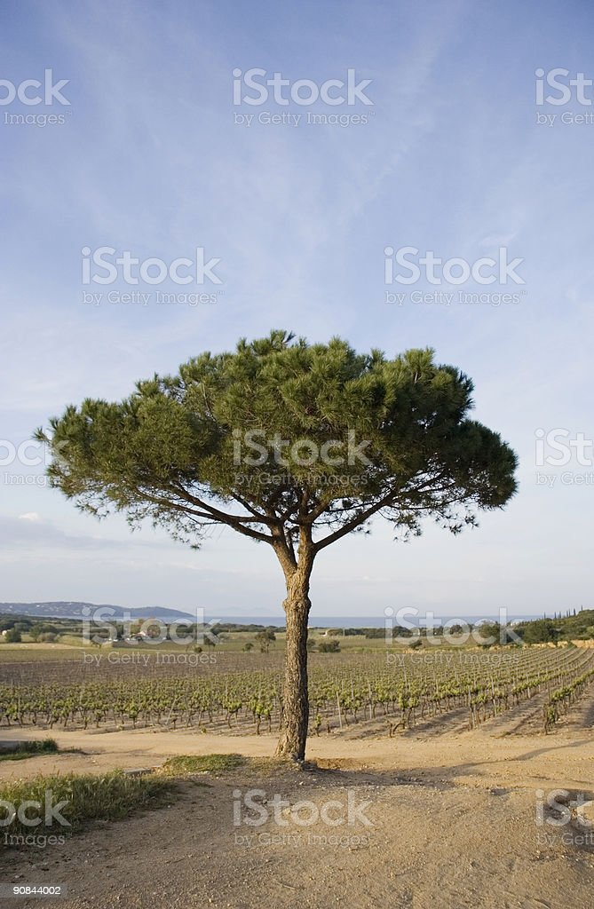 lone umbrella pine in a vineyard stock photo